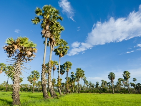 Sugar palm trees in the field ,thailand surrounded by lush green plants  Stock Photo - 15194529