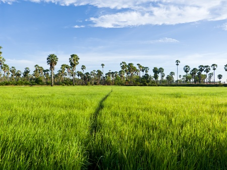 Sugar palm trees in the field ,thailand surrounded by lush green plants Stock Photo - 15194551