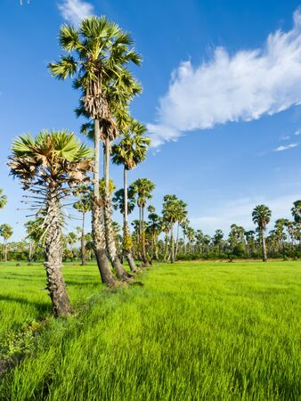 Sugar palm trees in the field ,thailand surrounded by lush green plants  Stock Photo - 15194526