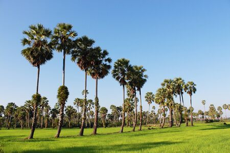 Sugar palm trees in the field ,thailand surrounded by lush green plants