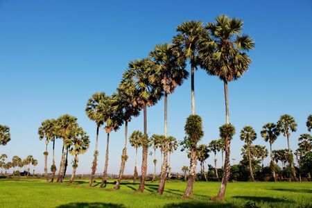 Sugar palm trees in the field ,thailand surrounded by lush green plants Stock Photo - 17413281