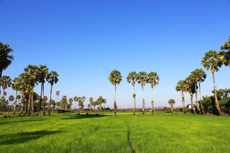 Sugar palm trees in the field ,thailand surrounded by lush green plants Stock Photo - 17413309