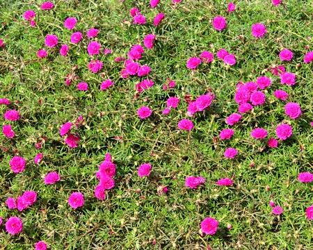 Pink Common Purslane Flower in green background