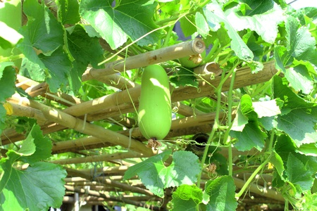 winter melon hang on tree