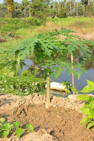 papaya tree growing near water source