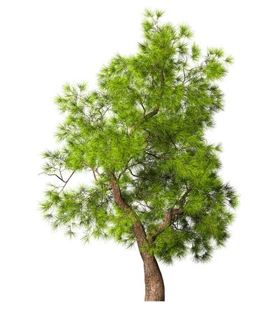 Coniferous evergreen spruce tree with a lush crown on a white background. 3D illustration