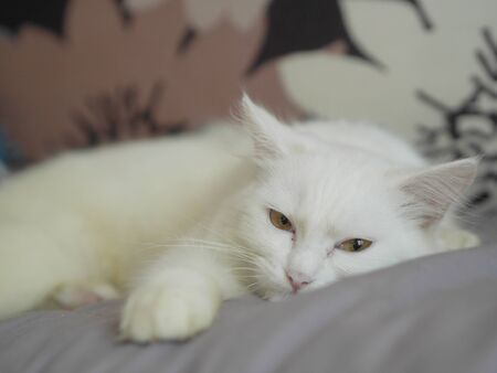 Cute persian cat lying and sleeping on sof