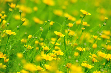 The yellow flower and the grass feild photo
