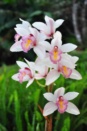 Orchid at the Royal flora park, Chaingmai,Thailand