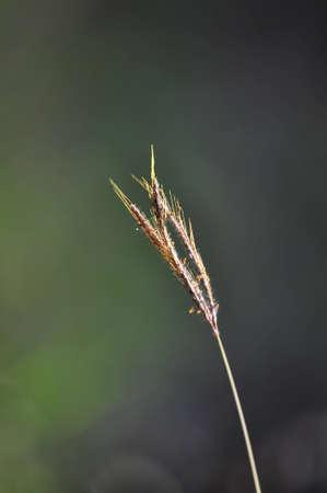 Grass at Chaingmai,Thailand