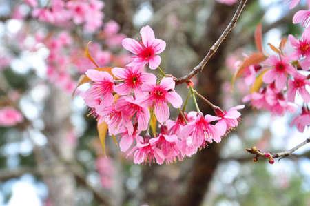 chaingmai: Sakura at Chaingmai,Thailand