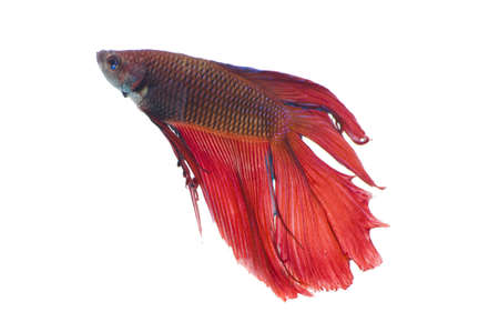 The Betta fish on the white background Stock Photo