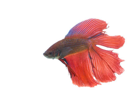 The Betta fish on the white background Stock Photo - 7340566