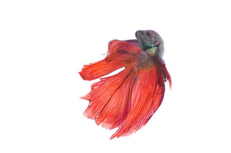 betta: The Betta fish on the white background Stock Photo