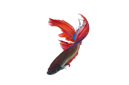 The Betta fish on the white background photo
