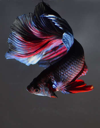 The Betta fish on the gray background