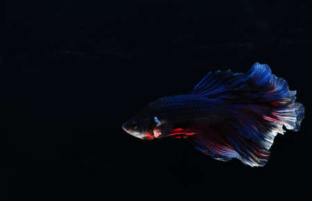 The Betta fish on the black background Stock Photo - 7340560