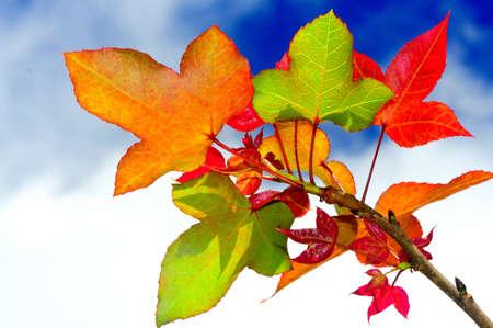 Magic color of Maple leaf