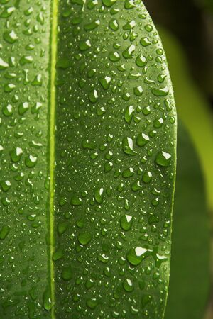 rubber plant: Leaf of  rubber plant covered by drops of water.  Stock Photo