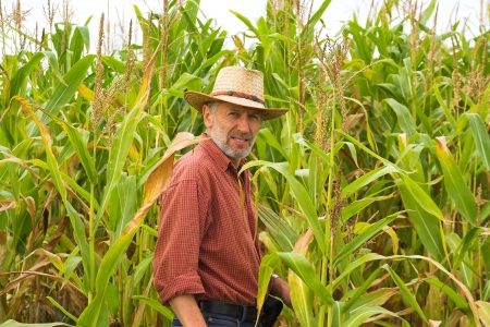 planta de maiz: Farmer mira a las mazorcas de maíz en su campo