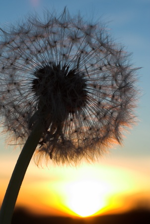 blowball: Blow-ball of dandelion at sunset - vertical image