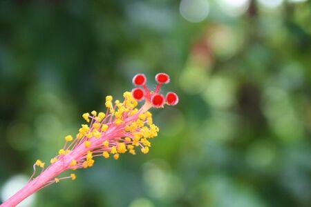 closeup hibiscus flower pollen. Hibiscus flower pollen on green blur background.