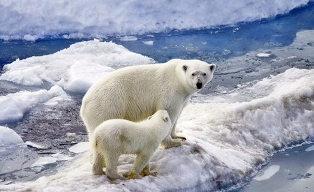 Polar bear with a cub on an ice floe