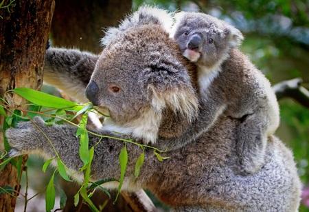 Koala with a cub climbs a tree
