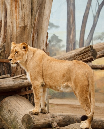 The lioness stands sideways to the camera Stock Photo