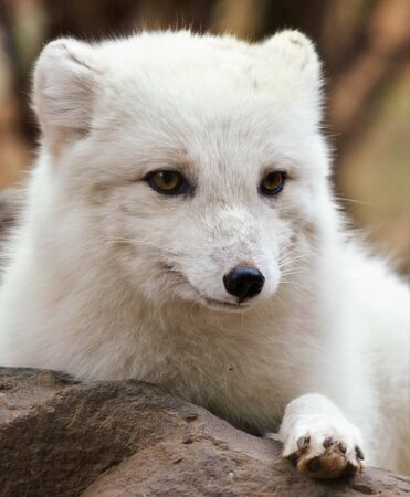 White arctic fox in summer lies on a stone