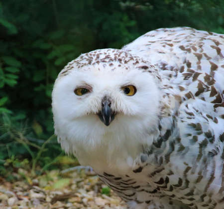 Snowy owl sitting on the ground Banque d'images