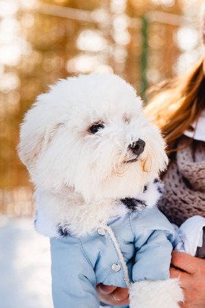 looking for job: Bichon-Frize dog portrait in the clothes for dogs, kombenizon, winter sunset aviary.