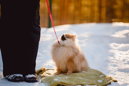 dog of pomeranian spitz Performs the command to sit in training with the dog singer. Occupation. Winter