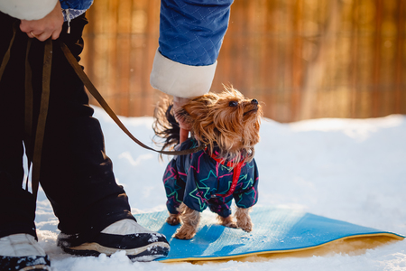 miniature breed: Beautiful Yorkshire terrier Sits on snow in overalls, winter, smile sunset Cynologist