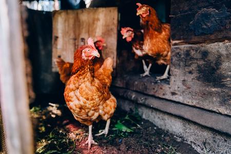 Una bandada de pollos se está moviendo alrededor de las plumas. Concepto de agricultura