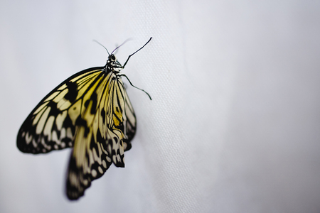 Close-up of a newly minted big butterfly Papilio merging sits on a white background Stock Photo