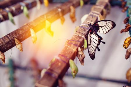 번데기에서 큰 열대 나비 해치. 라임 버터 플라이의 컨셉 변환 스톡 콘텐츠