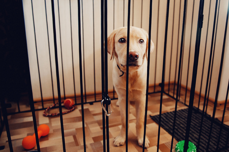 Labrador dog is a golden retriever sitting in a cage valere in the apartment of the house. Concept sad eyes, loneliness, pain, separation, waiting for the master.
