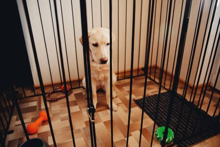 Labrador dog is a golden retriever sitting in a cage valere in the apartment of the house. Concept of the contents of the dog, preventing property damage from teeth, gnawing.