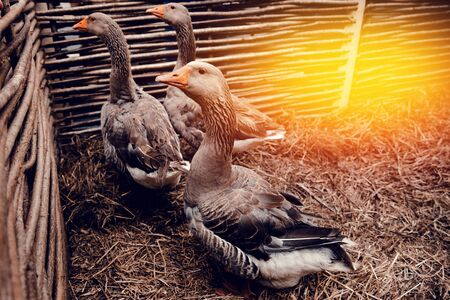Homemade geese sit in a pen on the farm and carry eggs. The concept of eco-farm, agriculture, state farm.