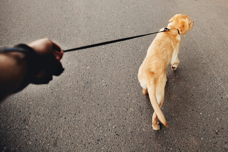 man holding a labrador dog on a leash a golden retriever walking along the street, the concept of dog walking, the mans best friend. Action camera Stock Photo