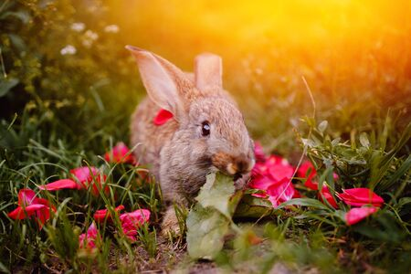 lapin: Little rabbit on the grass farm of pets. Sunset. concept is a garden pest, rodent.