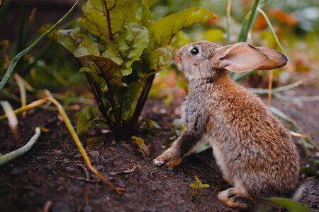 애완 동물의 잔디 농장에서 작은 토끼. 일몰. 개념은 정원 해충, 설치류입니다. 스톡 콘텐츠