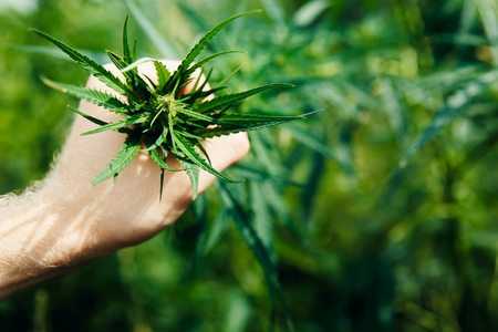Close-up Hands of man holding sprout of hemp grass on dark green background. 免版税图像