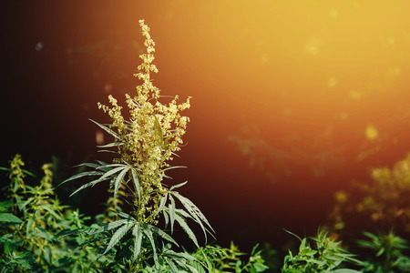 Bush Flowering herb hemp with seeds and flowers with a sun glint on a dark green background. Concept breeding of marijuana, cannabis, legalization. Stock Photo