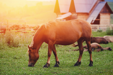 brown horse grazes on a meadow, a glare of the sun and light from the sunrise.
