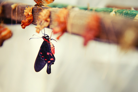 Life cycle of a butterfly. Close-up of a tropical butterfly sitting next to a cocoon and a nest. Stock Photo