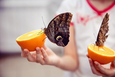 Close-up of a butterfly sitting on an orange and eating, the child is holding.