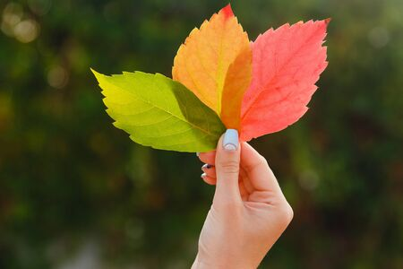 anonymous people: Girl in hand holds Three autumn leaves green, yellow, red. Against background glare of sun