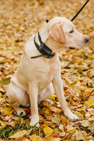 labrador Dog with Electric shock collar on outdoor. Stock Photo